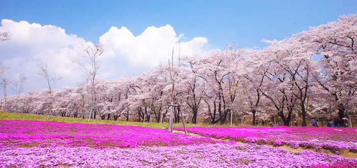 赤城南面千本桜の開花状況画像