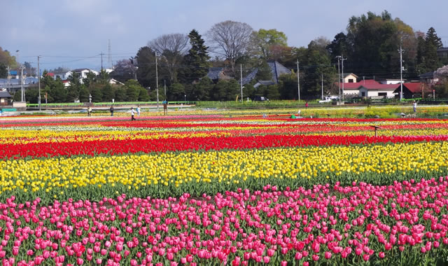 羽村市チューリップ祭りの画像