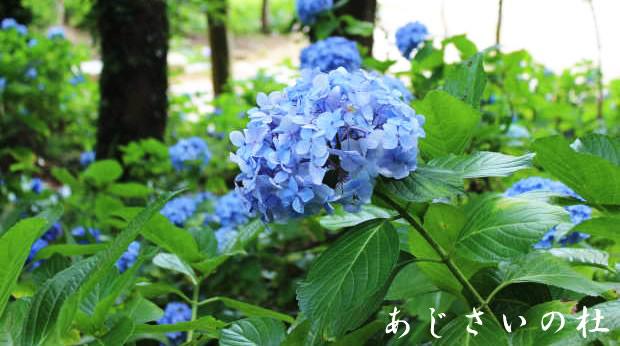 itako-ayame2016_02.jpg