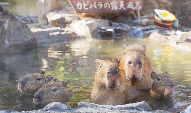izushaboten-capybara161119_01.jpg