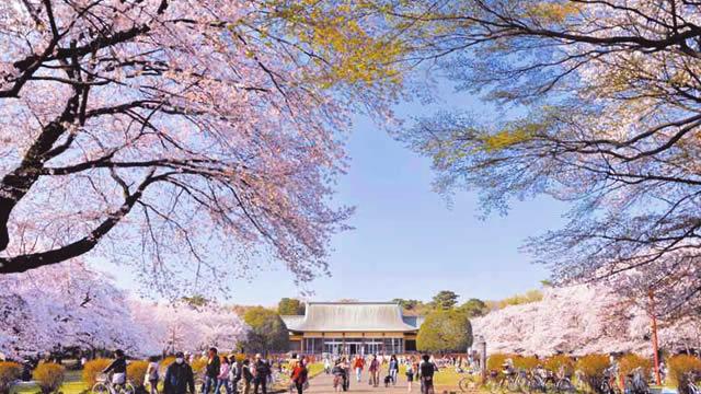 第62回小金井桜まつり2016の画像