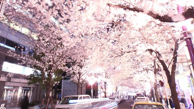nippachi-sakura01.jpg