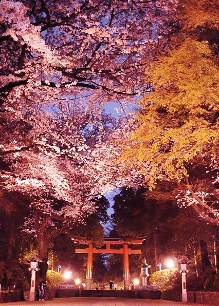 ohmiya-hachimangu-sakura01.jpg
