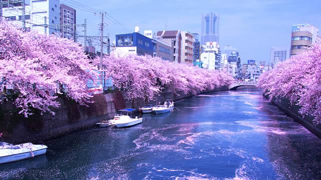 横浜大岡川桜まつり2015の画像