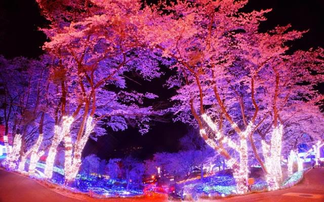 さがみ湖プレジャーフォレスト夜桜イルミネーション