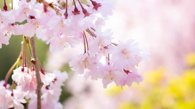 桜開花予想東京の画像