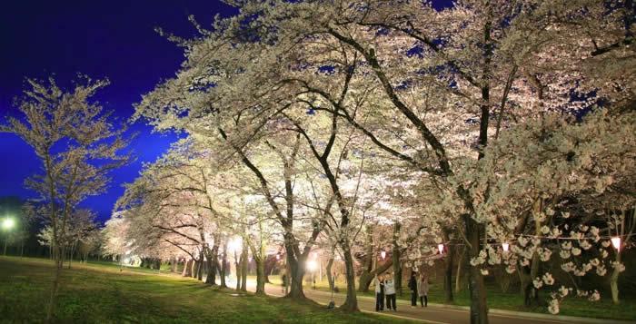 赤城南面千本桜 夜桜ライトアップの画像
