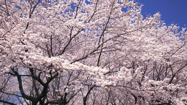 王子飛鳥山公園花見桜祭りの画像
