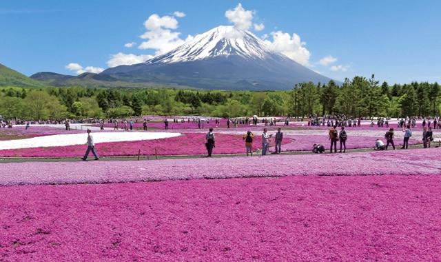 富士芝桜まつりの画像