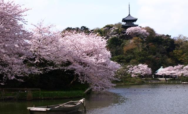 hanami-yokohama-sankeien02.jpg