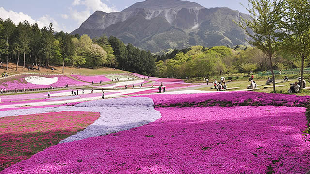 秩父羊山公園芝桜の丘芝桜まつりの画像
