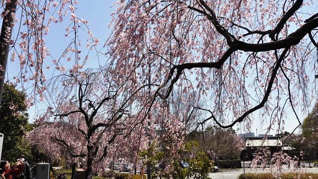 皇居乾通りの春・桜の一般公開の画像