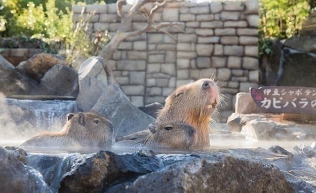 izushaboten-capybara171118_01.jpg