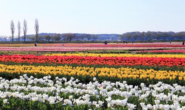 sakura-tulip2017_01.jpg