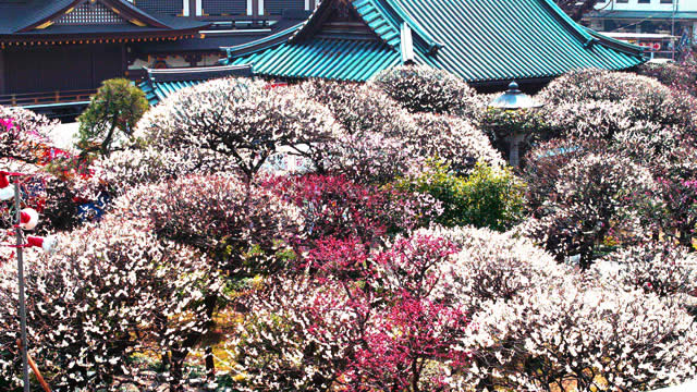 湯島天神梅まつりの画像